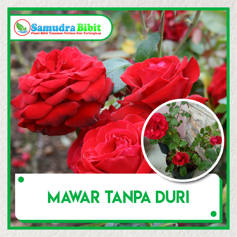 Bibit Tanaman Bunga Mawar Tanpa Duri