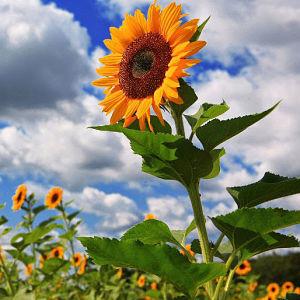 Bibit Tanaman Bunga Matahari
